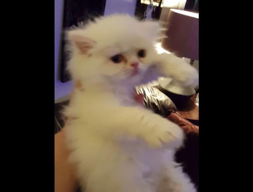 Teacup persian kittens for sale Archives - Cute Kittens Videos