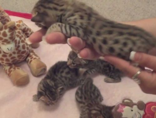 F1 Savannah cats for sale Archives - Cute Kittens Videos