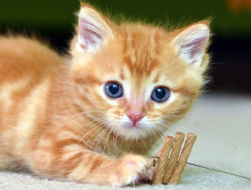 cats meowing loudly archives cute kittens videos